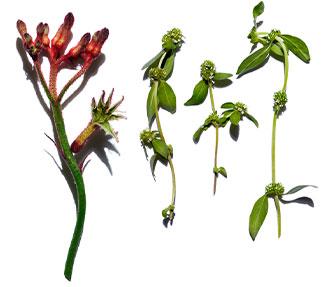 Kangaroo flower and organic girdlepod visual