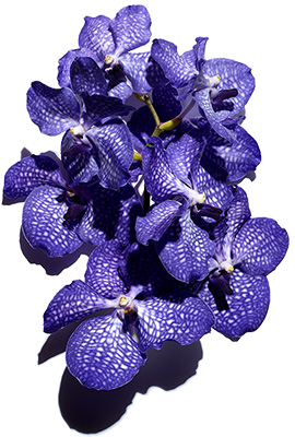 Blue Orchid ingredient