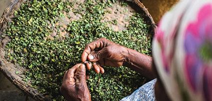 woman picking centella asiatica
