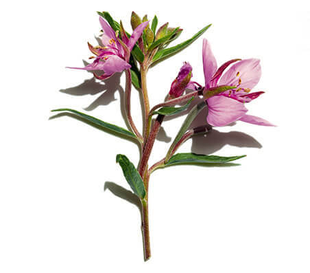 Organic Alpine Willow Herb Extract